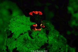 Fluro House Reef Night Scuba Diving in Manado